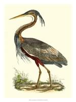 Purple Heron Fine-Art Print