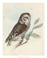 Meyer Little Owl Fine-Art Print