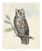 Meyer Scops-Eared Owl Fine-Art Print