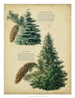 Colorado Blue Spruce &Norway Spruce Fine-Art Print