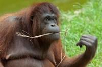 Bornean Orangutan, adult female, Borneo Fine-Art Print