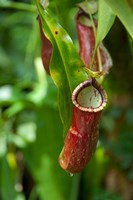 Old World carnivorous pitcher plant hanging from tendril, Penang, Malaysia Fine-Art Print