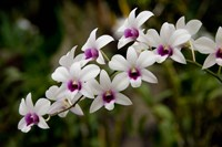 Singapore. National Orchid Garden - White Orchids Fine-Art Print