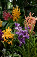 Singapore. National Orchid Garden - Multi colored Orchids Fine-Art Print