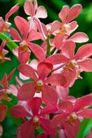 Singapore. National Orchid Garden - salmon colored Orchids Fine-Art Print