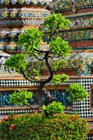 Bonsai tree in front of chedi, Wat Pho, Bangkok, Thailand Fine-Art Print