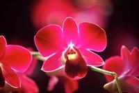 Malaysia, Orchid Fine-Art Print