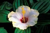 Hibiscus flower, Bangkok, Thailand Fine-Art Print
