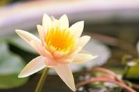 Water Lily flower, Ayuthaya, Thailand Fine-Art Print