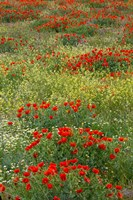 Red Poppy Field in Central Turkey during springtime bloom Fine-Art Print