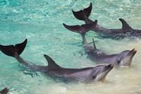 Dolphins, Sea World, Gold Coast, Queensland, Australia Fine-Art Print