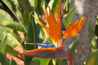 Bird-of-Paradise Flower, Sunshine Coast, Queensland, Australia Fine-Art Print