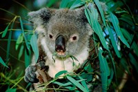 Koala Eating, Rockhampton, Queensland, Australia Fine-Art Print