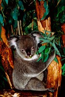 Koala on Eucalyptus, Featherdale Wildlife Park, Sydney, Australia Fine-Art Print