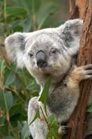 Koala, Australia Fine-Art Print