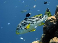 Diagonal-Banded Sweetlips, Great Barrier Reef, Australia Fine-Art Print