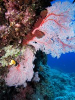 Fan Coral, Agincourt Reef, Great Barrier Reef, North Queensland, Australia Fine-Art Print