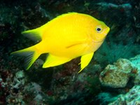 Golden Damsel fish, Great Barrier Reef, Australia Fine-Art Print