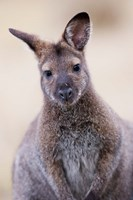 Close up of Red-necked and Bennett's Wallaby wildlife, Australia Fine-Art Print