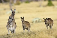 Eastern Grey Kangaroo group standing upright Fine-Art Print