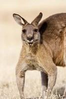 Eastern Grey Kangaroo portrait Fine-Art Print