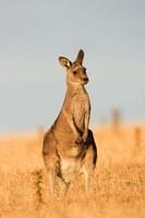 Eastern Grey Kangaroo portrait during sunset Fine-Art Print