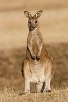 Eastern Grey Kangaroo portrait frontal Fine-Art Print