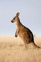 Eastern Grey Kangaroo portrait lateral view Fine-Art Print