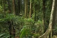 Australia, NSW, Rainforest Trees, Wonga Walk, Dorrigo NP Fine-Art Print