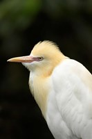 Cattle Egret (Ardea ibis), North Queensland, Australia Fine-Art Print