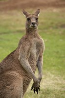 Kangaroo, Trial Bay, New South Wales, Australia Fine-Art Print