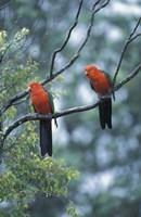 Male Australian King Parrots, Queensland, Australia Fine-Art Print