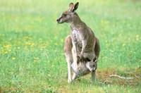 Australia, Kangaroo Island, Western Gray Kangaroos Fine-Art Print