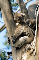 Mother and Baby Koala on Blue Gum, Kangaroo Island, Australia Fine-Art Print