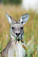 Eastern grey kangaroo eating, Australia Fine-Art Print