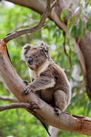 Koala wildlife in tree, Australia Fine-Art Print