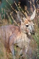 Red kangaroo (Macropus rufus), Australia Fine-Art Print