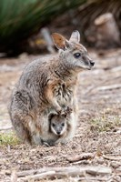 Tammar wallaby wildlife, Australia Fine-Art Print