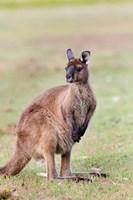 Western grey kangaroo, Australia Fine-Art Print