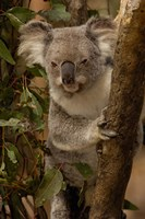 Koala bear, Lone Pine Koala Sanctuary, AUSTRALIA Fine-Art Print