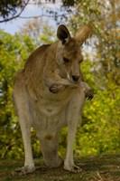Preening Eastern Grey Kangaroo, Queensland AUSTRALIA Fine-Art Print