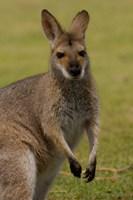 Pretty-faced Wallaby wildlife, AUSTRALIA Fine-Art Print