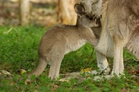 Australia, Queensland, Eastern Grey Kangaroo and joey Fine-Art Print