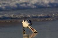 Australian pelican bird, Stradbroke Island, Australia Fine-Art Print