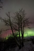 Aurora Borealis with Tree, Twin Lakes, Yukon, Canada Fine-Art Print