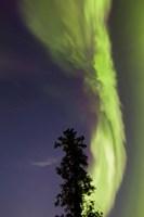Aurora Borealis with Tree and Shooting Star, Yukon, Canada Fine-Art Print