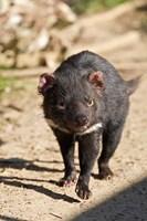 Australia, Tasmanian Devil wildlife Fine-Art Print
