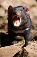 Angry Tasmanian Devil Fine-Art Print