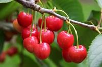Cherries, Orchard near Cromwell, Central Otago, South Island, New Zealand Fine-Art Print
