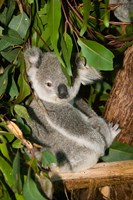 Australia, Brisbane, Fig Tree Pocket, Koala Bears Fine-Art Print